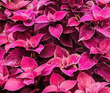 COLEUS JAZZ VELVET Solenostemon Scutellarioides - 40 Bulk Seeds
