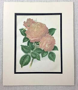 1877 Antique Botanical Print Pink Rose Comtesse Flower 19th C Chromolithograph