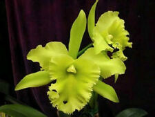 "Bin-Blc. Ports of Paradise'G.G.G.&#039 ;Fcc/Aos Fragrant! ""The Best"" Collector's Item!"