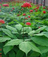 50Pcs Chinese Panax Ginseng Seeds Bonsai Chinese Medical Ginseng In Your Garden