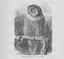 Sperbereule Surnia ulula Holzstich von 1891 Eulen G. Mützel