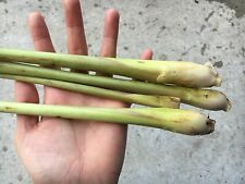 Lemongrass Plant x6 -- Organically Grown - Very hardy and drought Tolerance