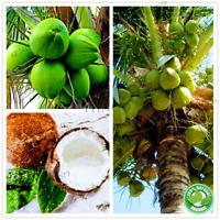 Coconut tree Seeds Bonsai Tropical Nutrition Juicy Fruit Perennial Plants 10Pcs