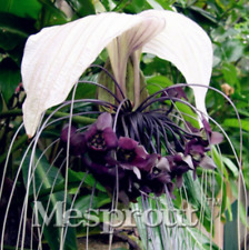 2 Plants Seeds Tacca chantrieri, Black bat flower rare Plant Healthy and Strong