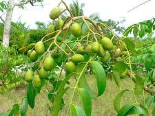 Spondias Dulcis (June Plums) Tropical Fruit Tree