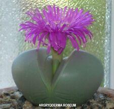 Blue Stones Seed Agyroderma delaeti roseum Small Succulent Quartz Loving Clump