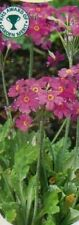Primula H5 (-15 to -10 °C) Perennial Flowers & Plants