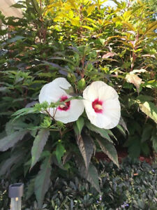 """Cold Hardy hibiscus plant 4"""" Pot Healthy Plant. Seedling"""