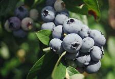 BLUEBERRY, ARLEN, LIVE PLANT-Cold Hardy, Sweet fruit,12
