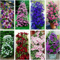50 Clematis Flower Seeds 8 Types Mixed Perennial Climbing Bonsai Plants