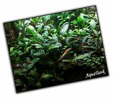 Bucephalandra species - Live Aquatic Aquarium Terrarium Plants SUPER RARE