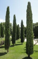 Italian Cypress- CUPRESSUS SEMPERVIRENS - 20 Seeds Trees