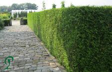 Thuja Brabant 140-160 cm Pflanzenhöhe inkl. Versand 25 x Pflanzen 375,- Euro.