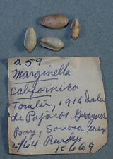 MARGINELLA CALIFORNICA 6-9mm BEAUTIFUL SPECIMENS Isla de Pajaros, Sonora, Mex