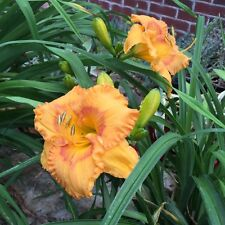 Daylily Alicia Burns rebloom orange blush hemerocallis Perennial ~ Df or 2 Plant