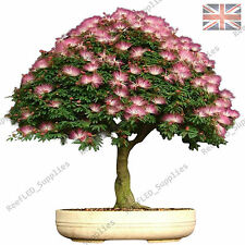 Rare albizia julibrissin bonsai tree, Mimosa soie -10 graines viables-uk vendeur