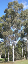 25 RED FOREST GUM TREE Eucalyptus Tereticornis Blue Grey Mountain Flower Seeds