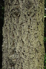 Amur Cork Seeds Phellodendron Amurense Cork Bark Tree Huang Bai -Usa- 25+ seeds