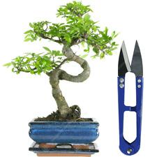 Bonsai Chinese Elm Tree Live Indoor Houseplant in 15cm Pot + Bonsai Shears