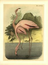AMERICAN OR RED FLAMINGO STUDER'S POPULAR ORNITHOLOGY BIRDS OF NORTH AMERICA