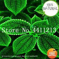 100% Real Coleus Seeds Plants Blumei Bonsai Rainbow Color Flower Mix Rare Home