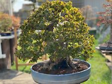 Joe Bonsaï Tricorne Maple Solitaire Super Acer Buergerianum Érable 27cm Stamm