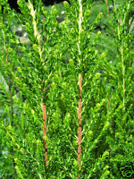 Lemon Scented Tea Tree 200 Seeds Frost, Drought & Wet Feet Tolerant Native to Oz