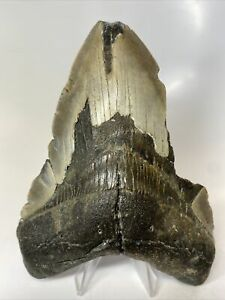 """Megalodon Shark Tooth 5.77"""" Big - Natural Fossil - Real 8325"""