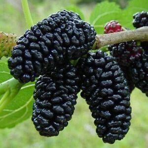 Black Mulberry Bush Seeds (Morus nigra) 50+Seeds