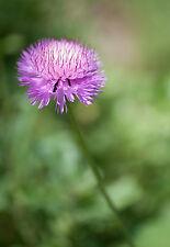 Moschus Kornblume Flockenblume 100 Samen Amberboa Moschata - Centaurea