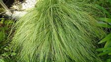 carex grass seeds amazon mist ornamental grass 50 Seeds grass seeds