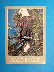 American Bald Eagle, PC Postcard