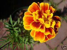 150 graines d' OEILLET D'INDE(Tagetes Patula)G530 FRENCH MARIGOLD SEEDS SAMEN