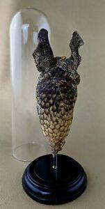 P82D Taxidermy Armadillo Head Skin Armor Glass Dome Oddities Curiosities decor