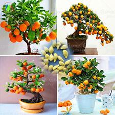 40/Borsa BONSAI arancio Semi Organici Semi di alberi da frutto in vaso di fiori FIORIERA