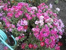 500 MIXED COLORS GODETIA Clarkia Amoena Flower Seeds + Gift & Comb S/H