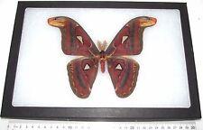 Real Framed Saturn Moth Attacus Atlas Moth Male Saturniidae Indonesia