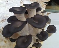 Pleurotus ostreatus Oyster black Chines Mushroom / Mycelium Spores Spawn Dried
