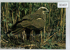 B3407law British Birds of Prey Marsh Harrier postcard