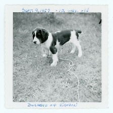 Vintage 1957 Snapshot Photo Duchess of Kaydon English Springer Spaniel Puppy Dog