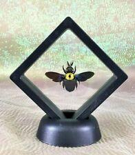 J29b Iridescent Entomology Taxidermy Tropical Carpenter Bee curiosities decor