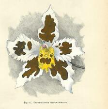 Stampa antica FIORI ORCHIDEA ODONTOGLOSSUM CRISPUM botanica 1896 Antique print