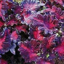 50+ COLEUS BLACK DRAGON SHADE LOVING FLOWER SEEDS / ANNUAL / GREAT GIFT