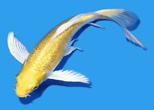 "New listing Live Koi fish 6-7"" Gin Rin yellow Yamabuki Ogon Butterfly Koibay"