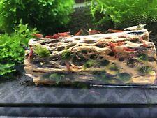 10 + 1 Fire red cherry shrimp juveniles neocardinia .Read Description!