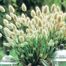 200 seeds Adorable Bunny Tails Lagurus Ovatus Ornamental grass lily rose petunia