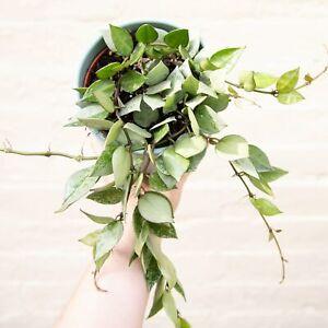 Hoya Krohniana Variegated - Uncommon Houseplant