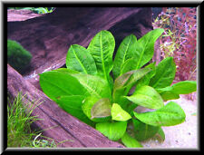 echinodorus mini  8/15cm  plantes avant plan nano aquarium facile