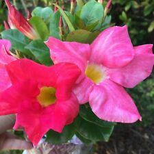 MERLIN'S MAGIC Dipladenia sanderii multicolour pink flowers plant in 140mmm pot