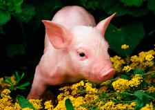 3D LUCKY LITTLE PIG - Lenticular Postcard Greeting Card